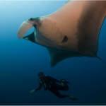 Giant Manta Rays protected as a migratory species