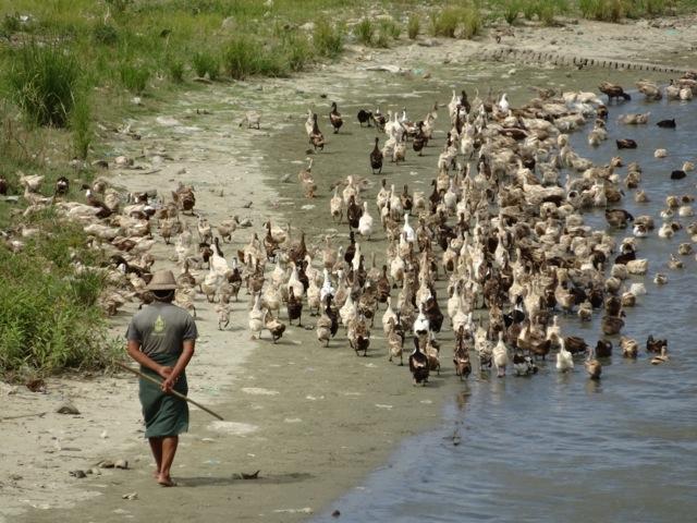 The_Duck_Herder